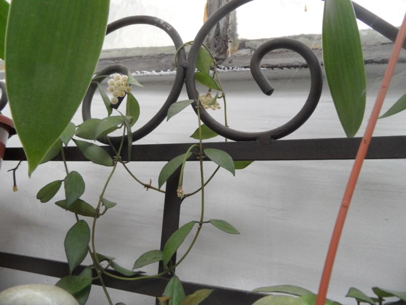 floraison de Hoya lacunosa  Sam_3616