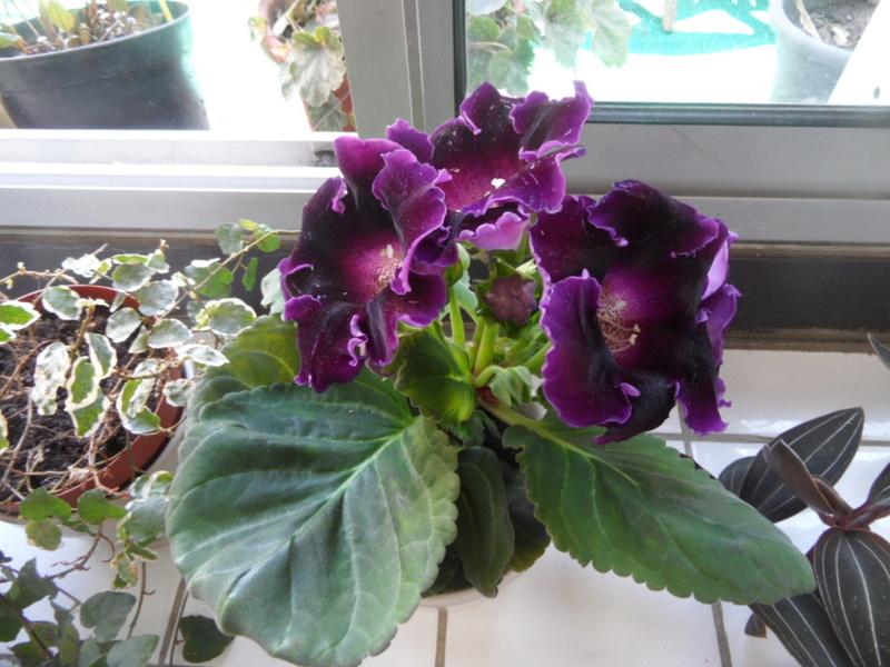 Floraisons d'intérieur  - Page 6 Sam_3717