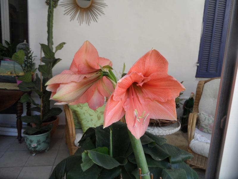 Amaryllis (hippeastrum) -culture, entretien, floraison - Page 10 Sam_3722