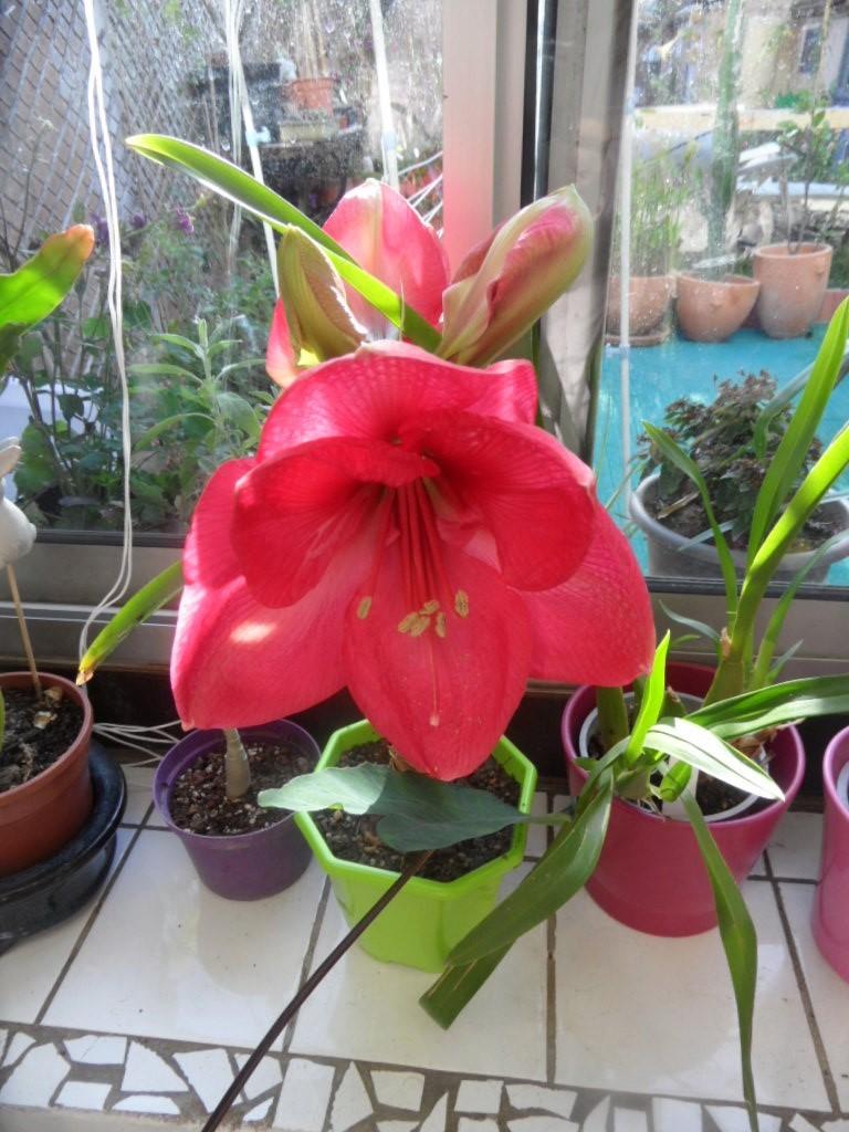 Amaryllis (hippeastrum) -culture, entretien, floraison - Page 10 Sam_3821