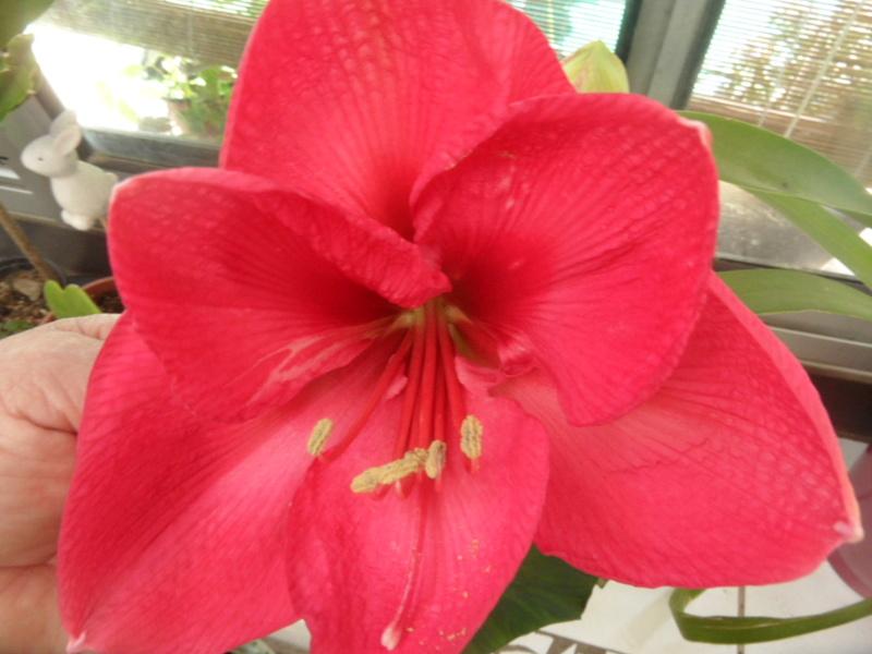 Amaryllis (hippeastrum) -culture, entretien, floraison - Page 10 Sam_3822