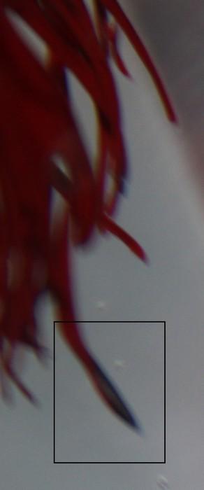 fin d'exophtalmie, tâche blanche sous l'oeil + début de pourriture des nageoires Img_2412