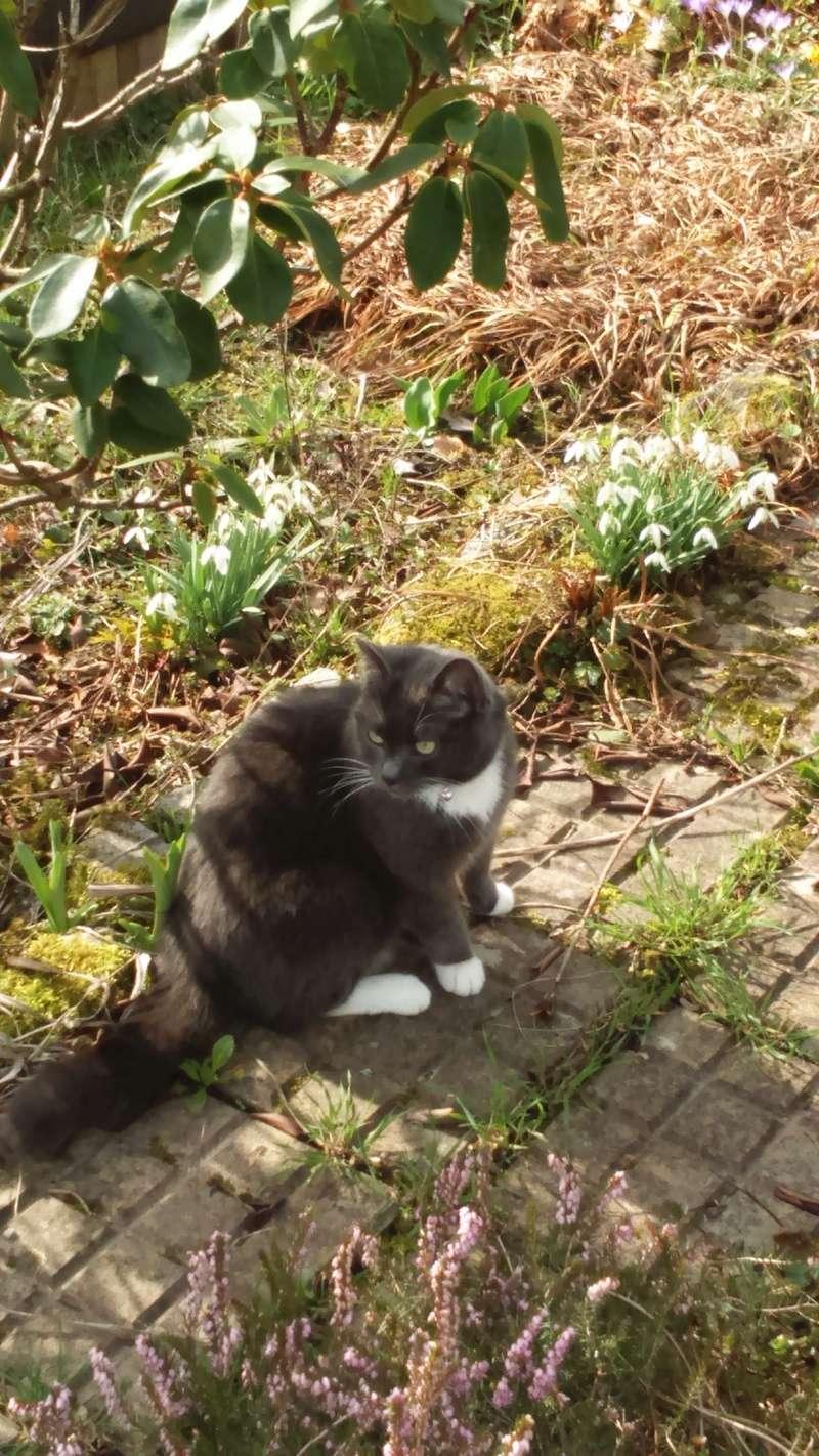 KAIRA, très belle chatte de 2 ans typée chartreuse et blanche - Page 2 Dsc_0311