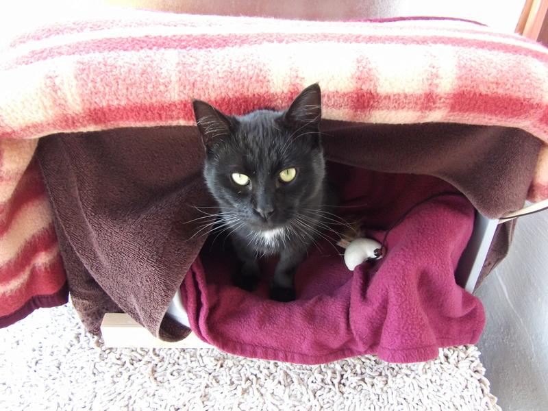 MOKA, très beau petit matou de 1 an à la robe noire Dscf2413