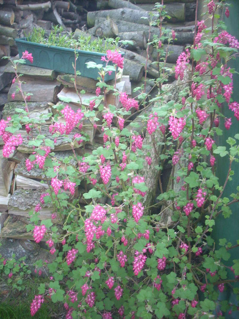 Groseiller a fleurs (Ribes sanguineum) - Page 3 00411