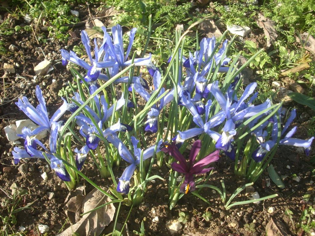 Iris reticulata - Page 7 00418