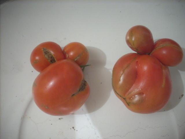 Légumes aux formes bizzares. - Page 7 00616