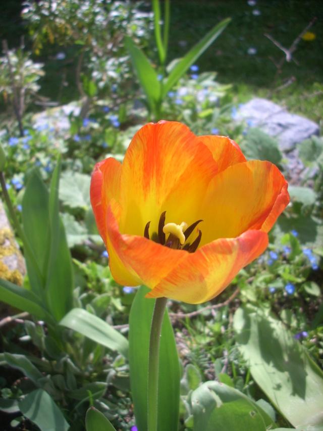 tulipes - Page 13 00720