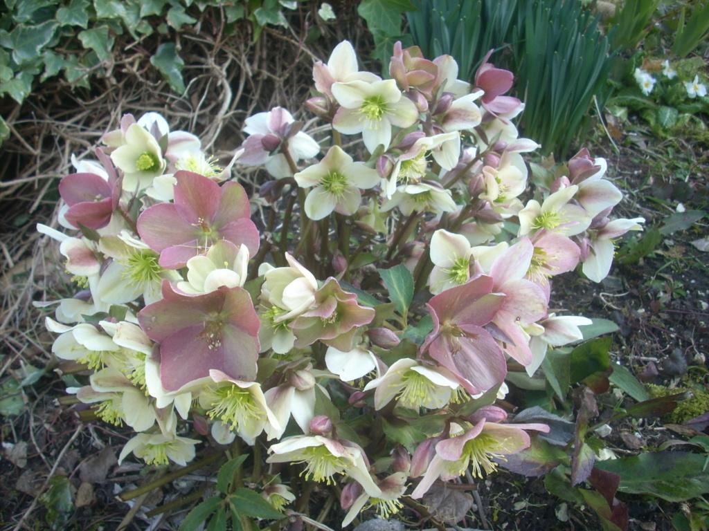 Helleborus niger ou Rose de noel ou Hellebore - Page 34 02114