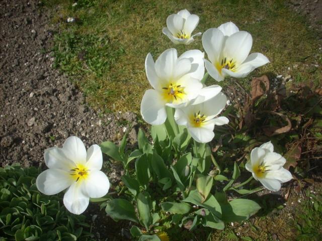 tulipes - Page 13 02517