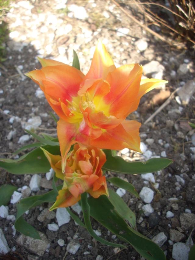 tulipes - Page 13 03411