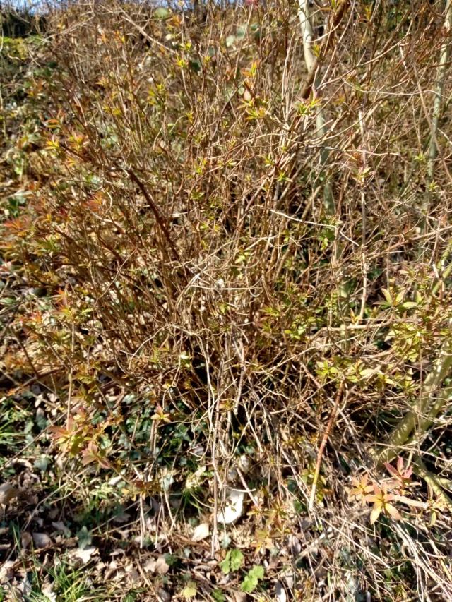 Quel est cet arbuste ? 16170110