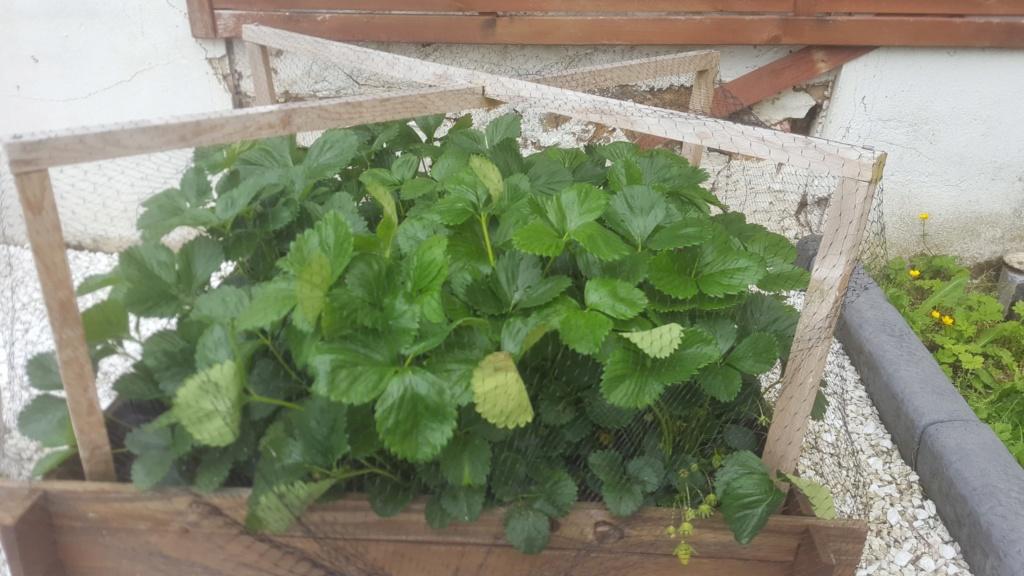 Les feuilles de mes fraisiers 61157910