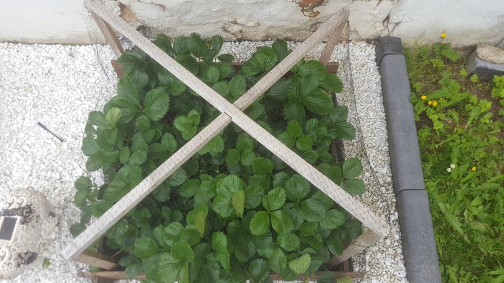 Les feuilles de mes fraisiers 61484010