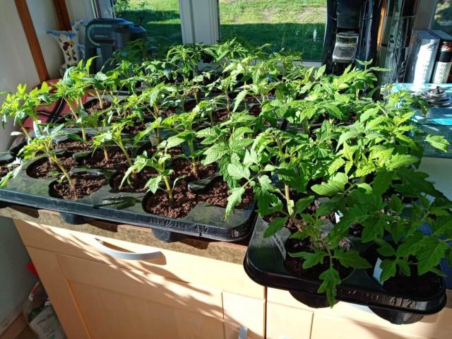 semis de tomates - Page 30 93792410
