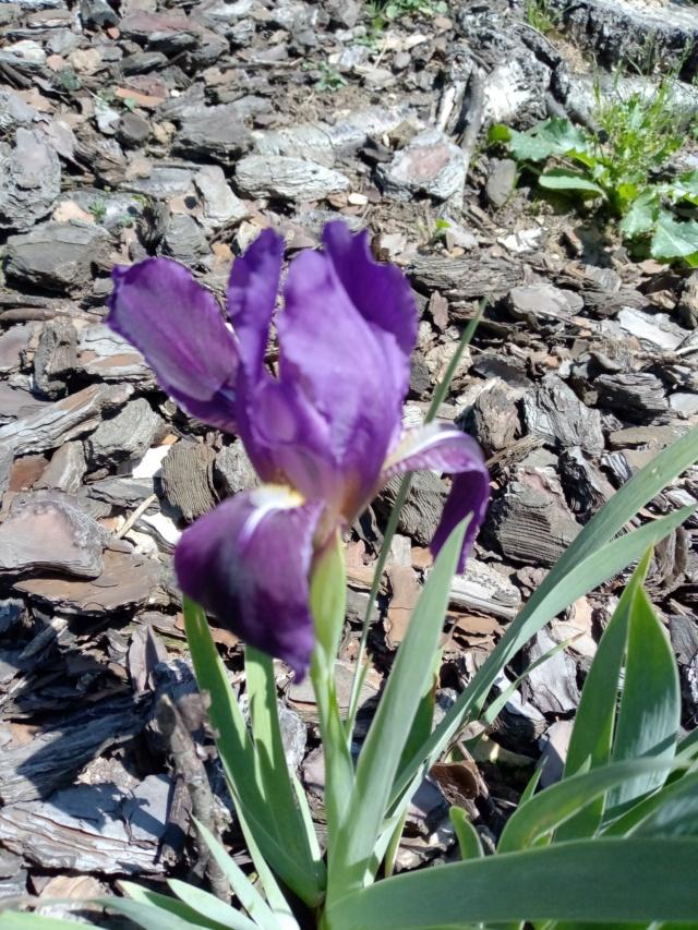 Floraison d'iris de 2017 ....... à 2021 - Page 38 Img_2021
