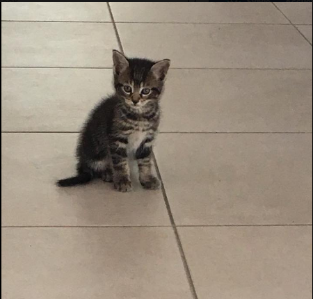 KITTY ( ex WESS) né le 15 mars 2017 Chaton10