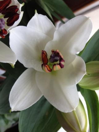 Lys lilium en fleurs ... Img_0355