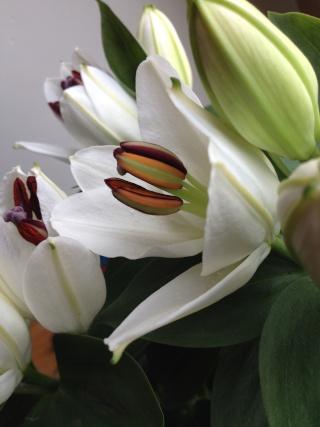 Lys lilium en fleurs ... Img_0426