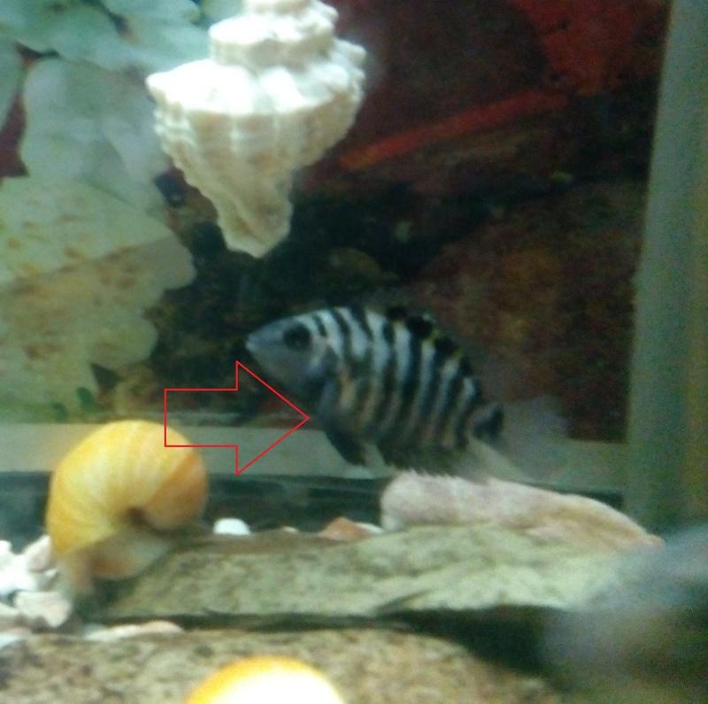 mon poisson est en ceinte ou pas  Img_2016