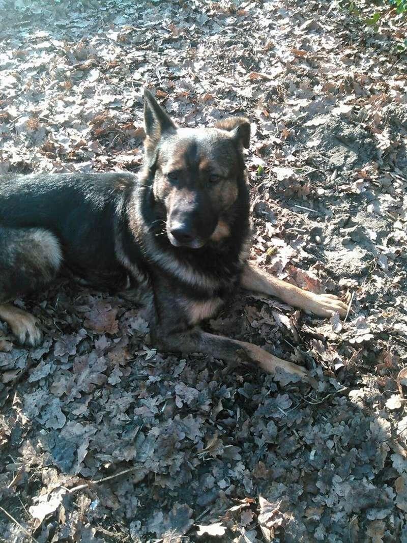 Schäferhund soll weg - vermittelt 16665510