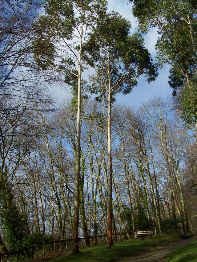 Eucalyptus sp. [identification non terminée] 100_0111