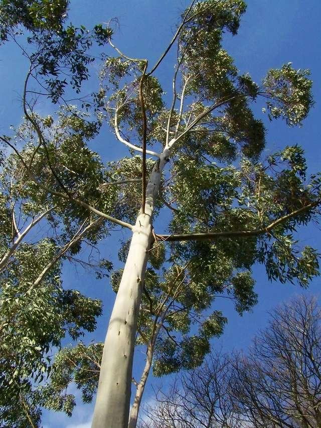 Eucalyptus sp. [identification non terminée] 100_0112