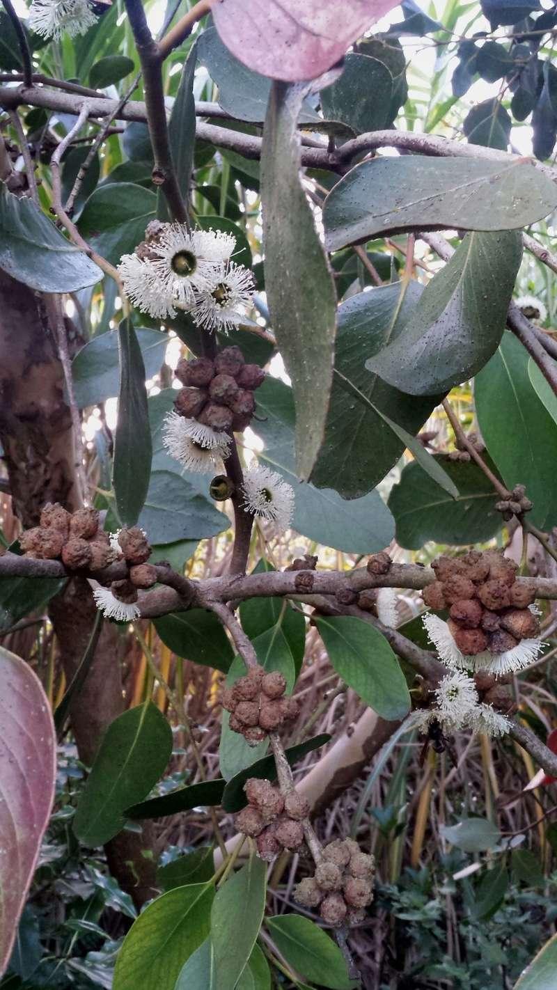 Eucalyptus verrucosa (= E. alpina) 20161012