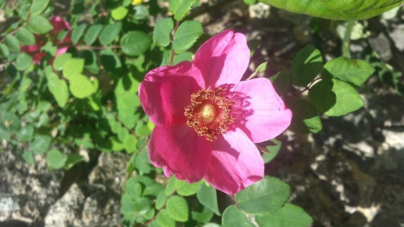 tous ces rosiers que l'on aime - floraisons - Page 2 20170514