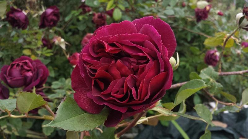 tous ces rosiers que l'on aime - floraisons - Page 2 20170515