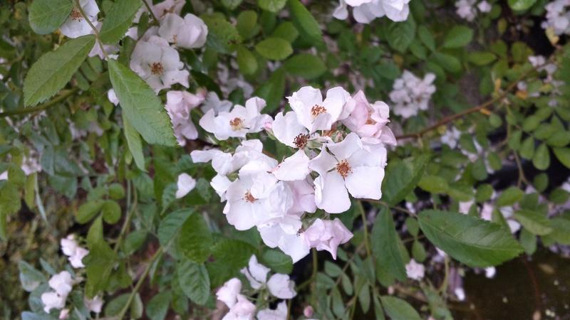 tous ces rosiers que l'on aime - floraisons - Page 2 20170517