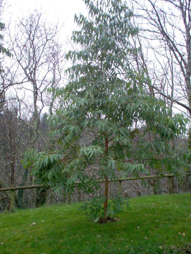 Eucalyptus sp. [identification non terminée] Eucaly10