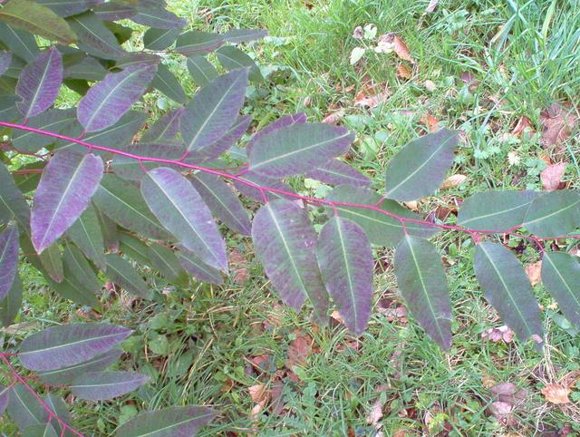 Eucalyptus sp. [identification non terminée] Eucaly11