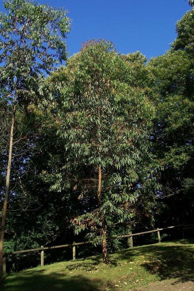 Eucalyptus sp. [identification non terminée] Eucaly12