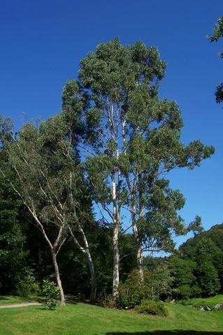 Eucalyptus sp. [identification non terminée] Eucaly14