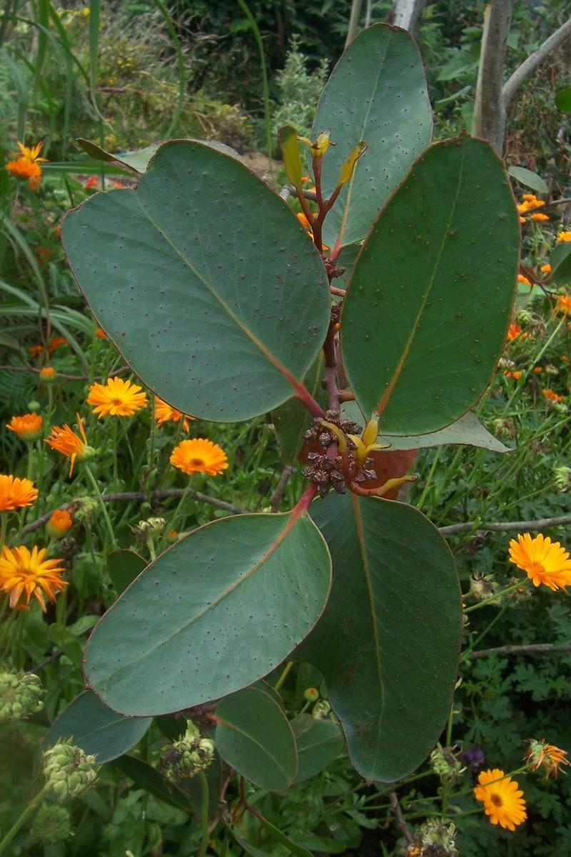 Eucalyptus verrucosa (= E. alpina) Eucaly16