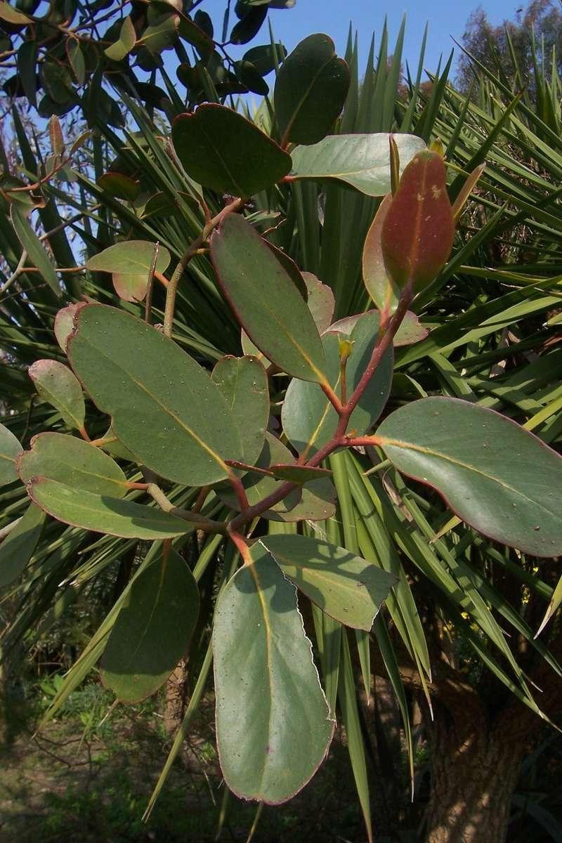 Eucalyptus verrucosa (= E. alpina) Eucaly17