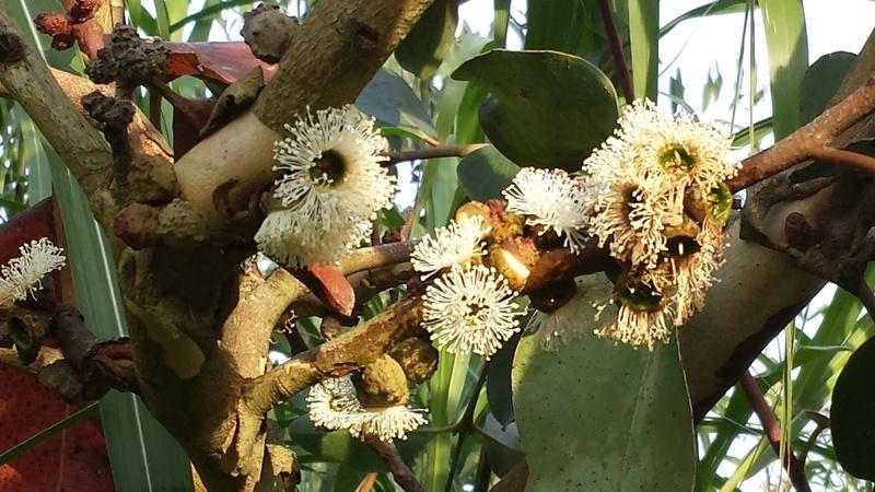 Eucalyptus verrucosa (= E. alpina) Eucaly18