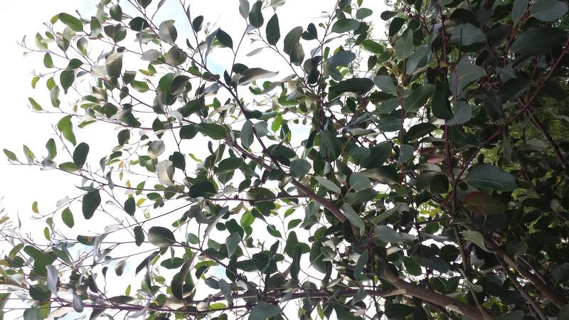 Eucalyptus verrucosa (= E. alpina) Eucaly19