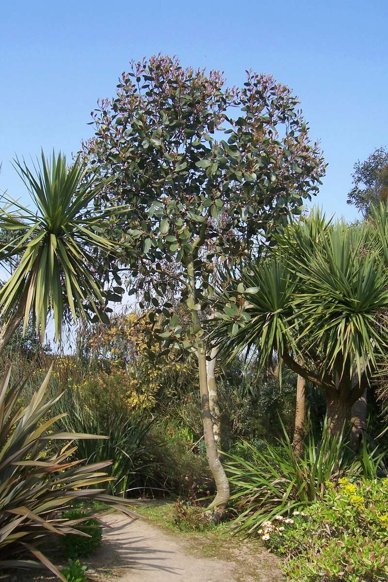 Eucalyptus verrucosa (= E. alpina) Eucaly20