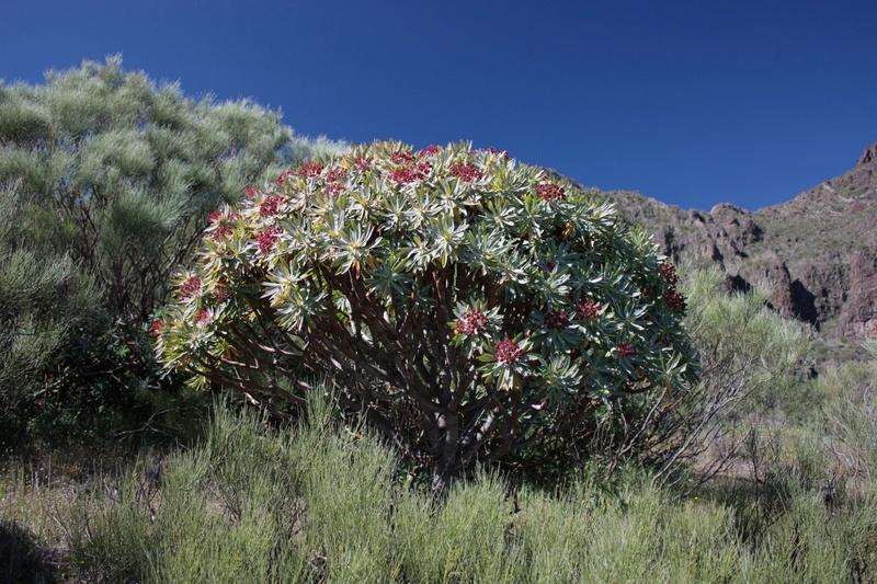 Euphorbia atropurpurea  Euphor10