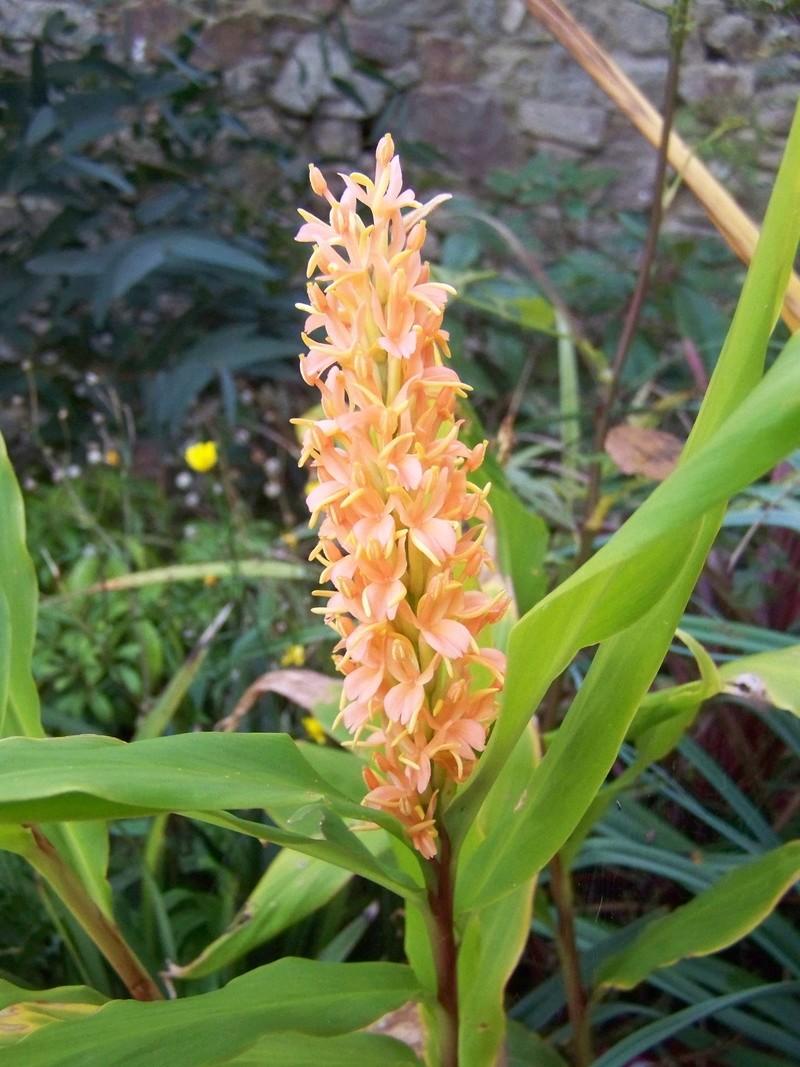 Hedychium densiflorum 'Assam Orange' Hedych14