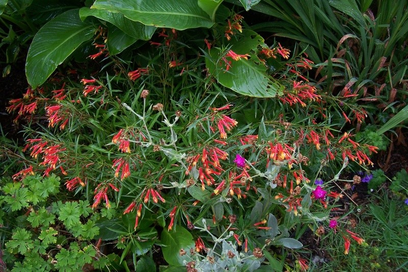 ces quelques fleurs de nos jardins - Page 2 Lobeli10