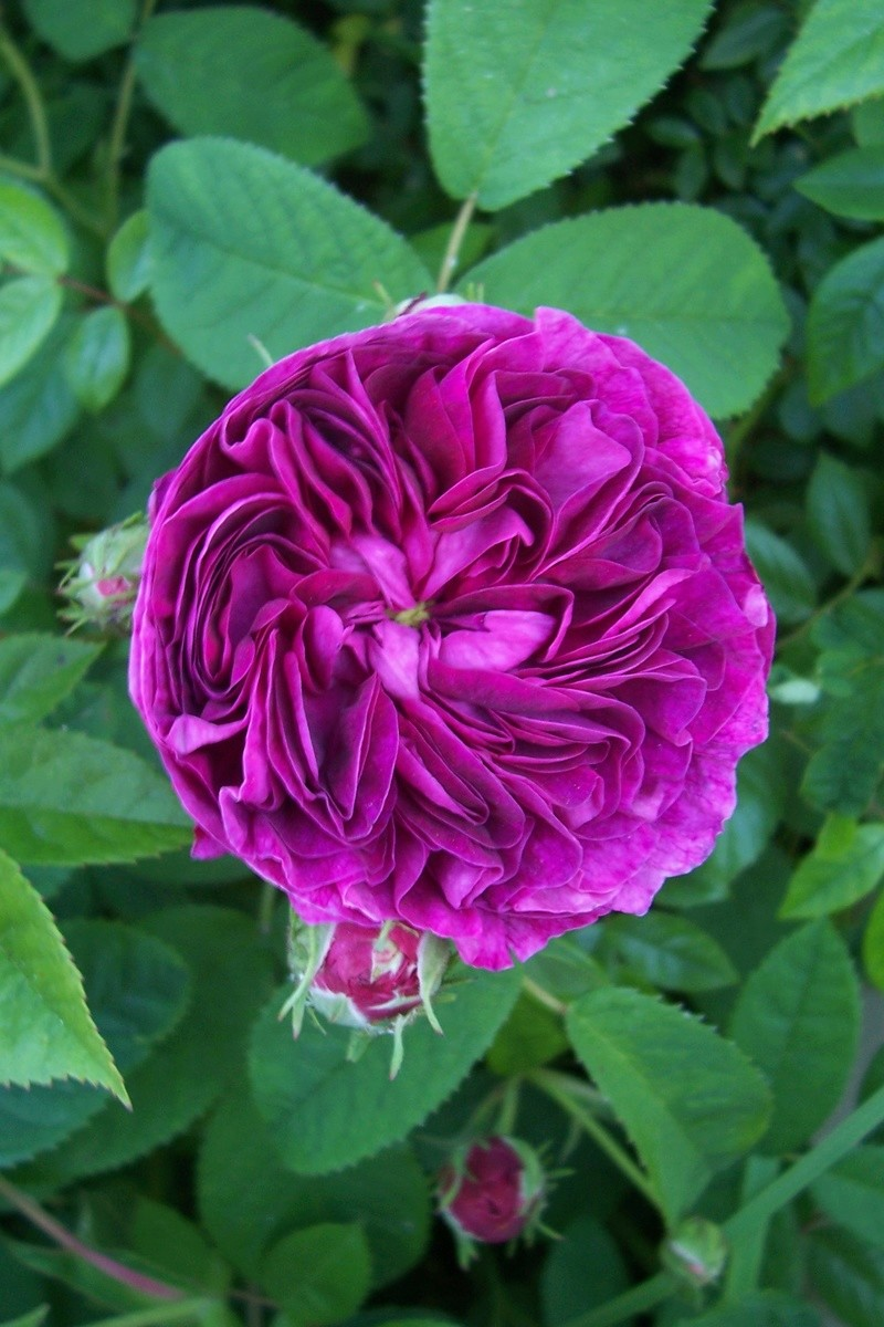 tous ces rosiers que l'on aime - floraisons - Page 2 Rosa_c10