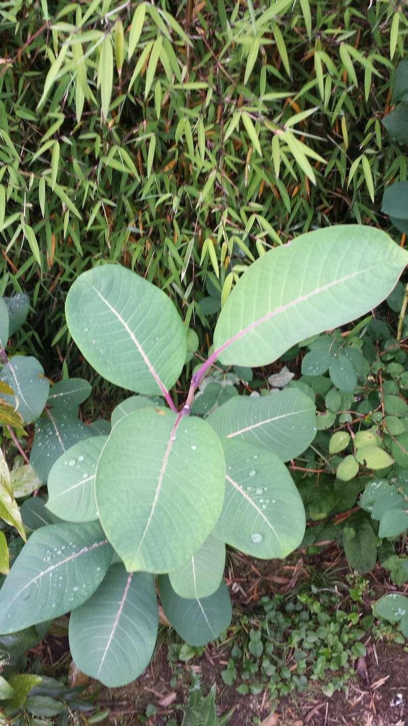 Salix magnifica Salix_13