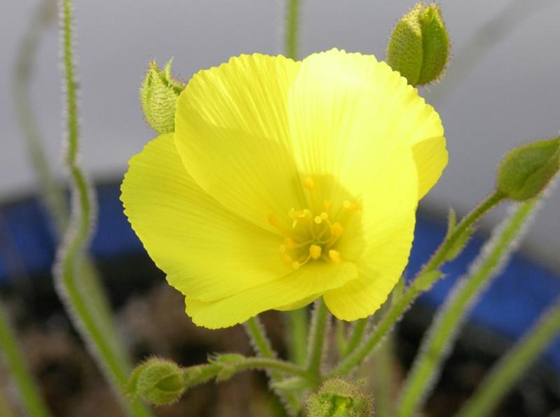 Comment semer et maintenir un drosophyllum ? Drosop11