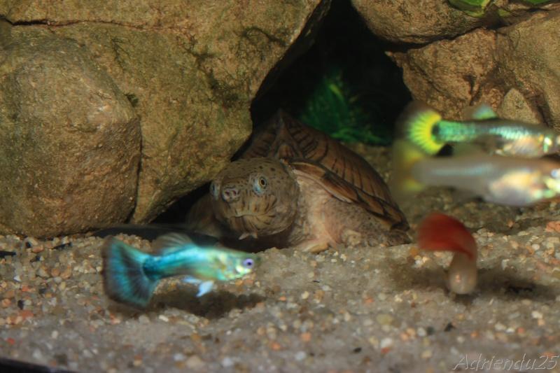 Nouvel aquarium pour les Sternotherus Img_0510