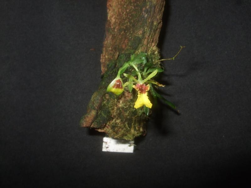 Thysanoglossa organensis Thysan10