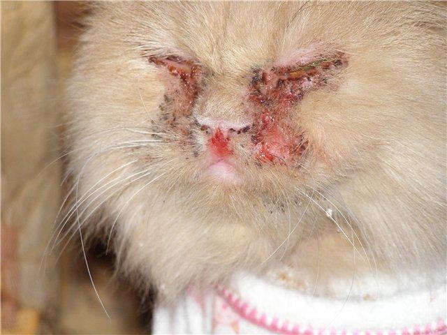 Кальцивироз у кошек. Симптомы, схемы лечения, профилактика кальцивироза 38737010