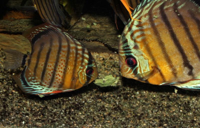 Symphysodon tarzoo rio ou lago Tefé - Page 4 24_mar10